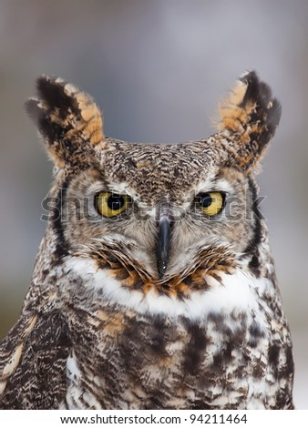 Great horned owl staring at camera