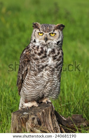 Great horned owl staring at thew lens. A majestic great horned owl stares back at the camera. - stock photo
