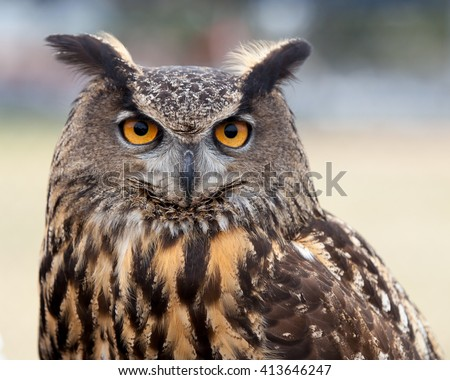Great Horned Owl / Who are you / A close up of a Great Horned Owl