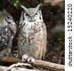 Great Horned Owls perched on a branch in the forest. - stock photo