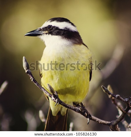 Great Kiskadee bird standing on a leafless tree branch - stock photo