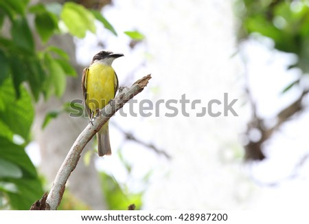 Great Kiskadee flycatcher perched on a tree branch with a blurred background - stock photo