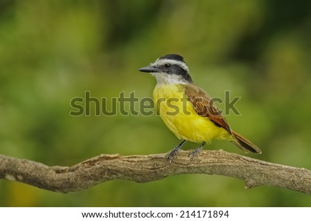 Great Kiskadee perched on a branch in Costa Rica. - stock photo