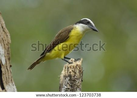 Great Kiskadee (Pitangus sulphuratus) on the Osa Peninsula, Costa Rica - stock photo