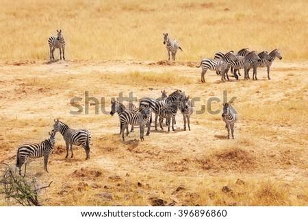 Great migration of zebras in Masai Mara, Africa - stock photo