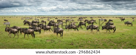 great migration wildebeest and zebras in serengeti plains tanzania - stock photo