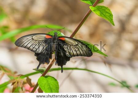 Great Mormon butterfly in native habitat - stock photo