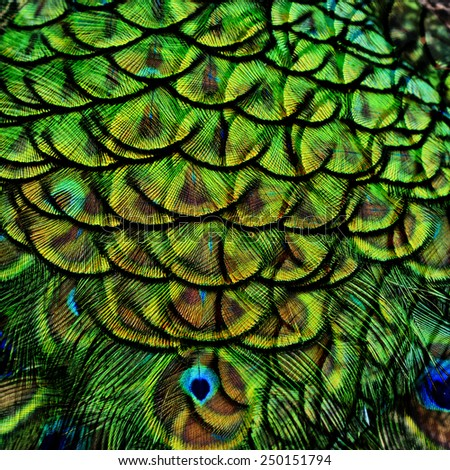 Great of Green Background Texture made of Green Peacock bird's feathers - stock photo