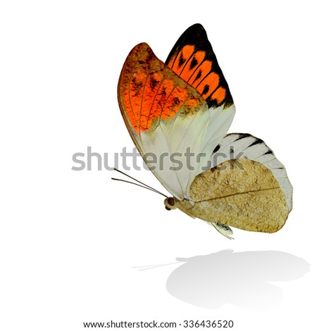 Great Orange Tip (Hebomoia glaucippe) the beautiful orange wings butterfly with stretching wings isolated on white background with soft shadow beneath - stock photo