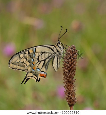Great Papilio machaon siriacus butterfly (Swallowtail) resting in the evening and a great colorful background