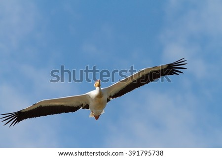 great pelican flying towards the camera over blue sky ( Pelecanus onocrotalus ) - stock photo