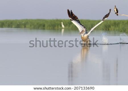 great pelican ( pelecanus onocrotalus ) taking flight from water surface at Meleaua, Danube Delta - stock photo