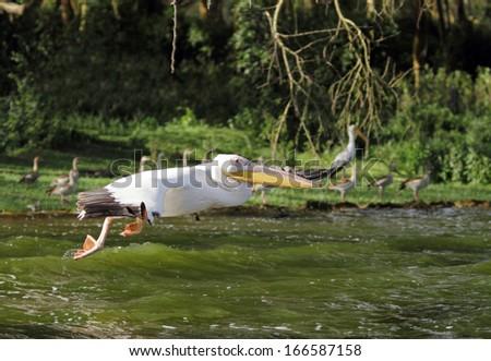 Great Pelicans speeding above water - stock photo
