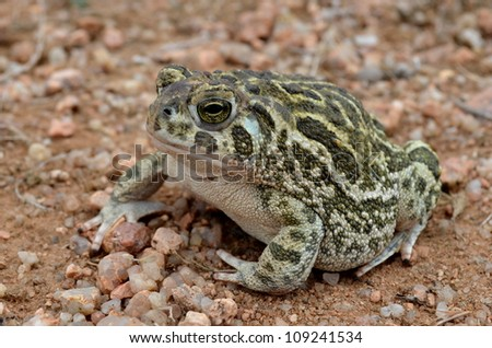 Great Plains Toad on the Sand - stock photo