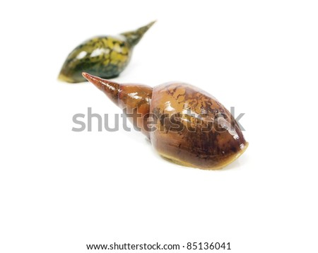 great pond snail (Lymnaea stagnalis) on a white background
