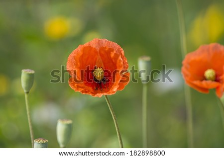 Great poppy flower in green background - stock photo