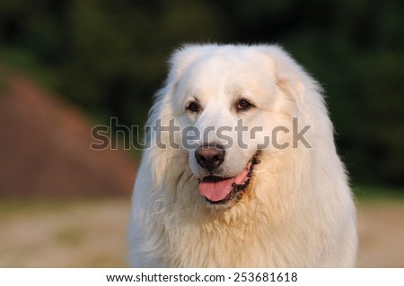 Great Pyrenees looking - stock photo