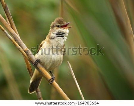 great reed warbler, Acrocephalus arundinaceus, europe - stock photo