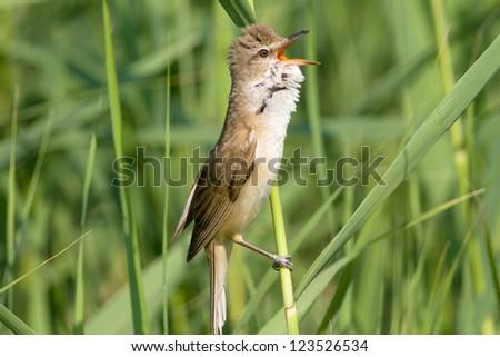 great reed warbler ( Acrocephalus arundinaceus ) in a natural habitat - stock photo
