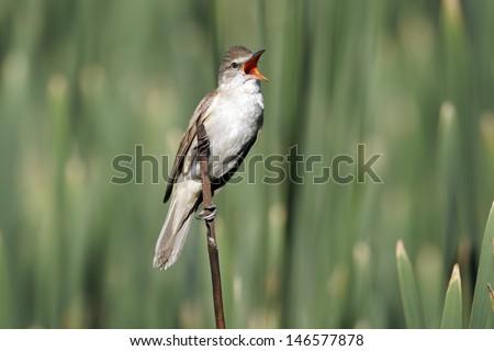Great-reed warbler, Acrocephalus arundinaceus, single bird on reed singing, Bulgaria, June 2012 - stock photo