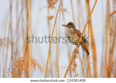 Great Reed Warbler (Acrocephalus arundinaceus) sitting on a branch of reed. - stock photo