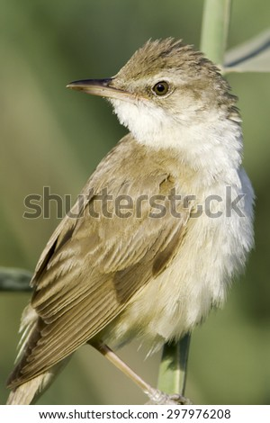 great reed warbler portrait / Acrocephalus arundinaceus - stock photo