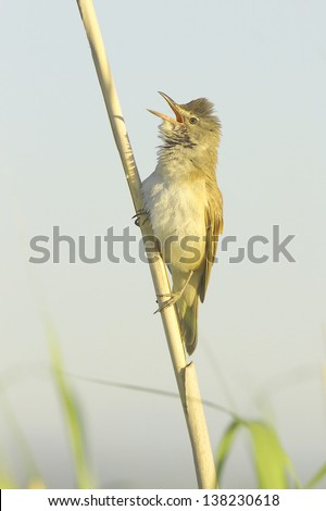 great reed warbler singing in a natural habitat /   Acrocephalus arundinaceus - stock photo