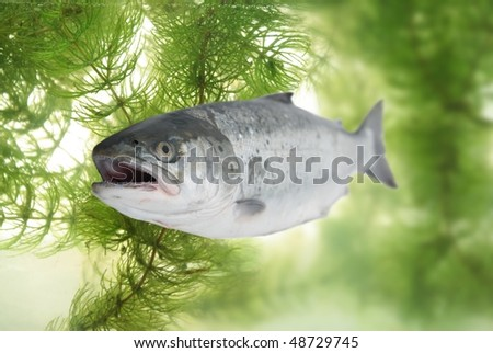great salmon on background of under-water vegetation
