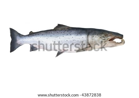 great salmon on white background