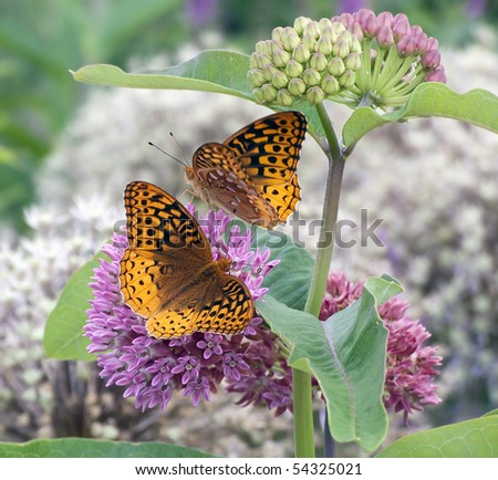 Great Spangled Fritillary Butterfly (Speyeria cybele) on Purple Milkweed (Asclepias purpurascens) - stock photo