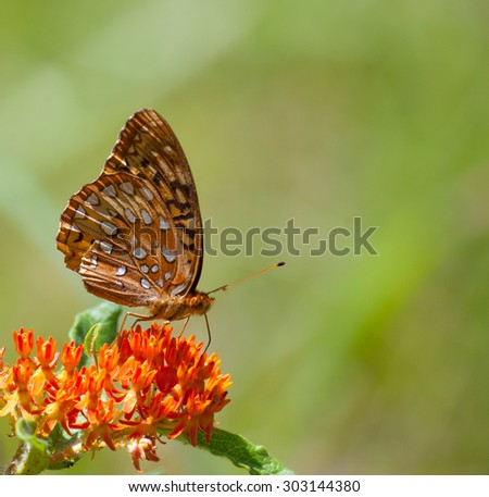 Great Spangled Fritillary (Speyeria cybele) on Butterflyweed (Asclepias tuberosa) - stock photo