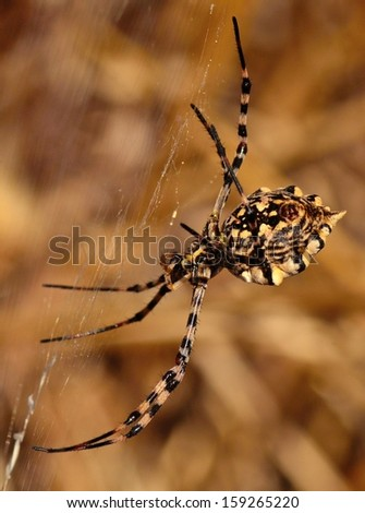 Great spider argiope argentata on its cobweb