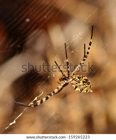 Great spider on its cobweb, argiope argentata