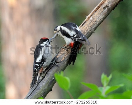 Great Spotted Woodpecker chick feeding - stock photo