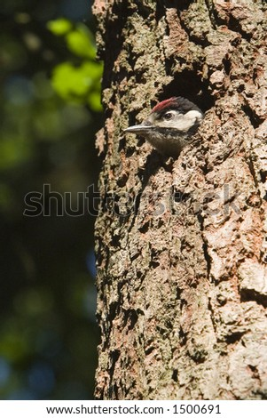 Great Spotted Woodpecker (Dendrocopos major) - Baarn, The Netherlands