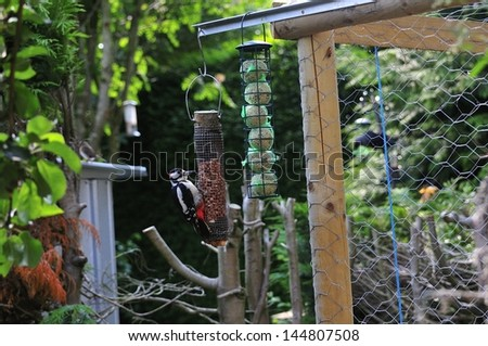 Great Spotted Woodpecker feeding from a peanut feeder. - stock photo
