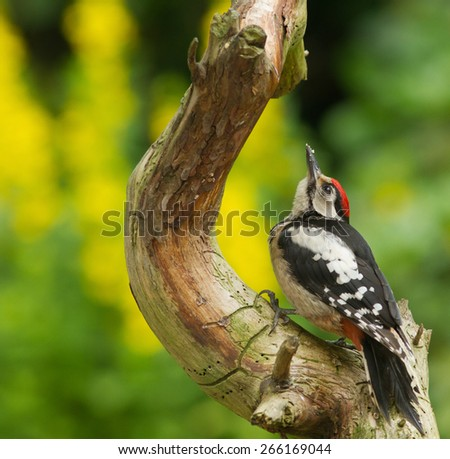 Great spotted woodpecker - Grote Bonte Specht - stock photo