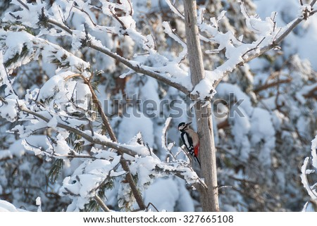 Great spotted woodpecker in a snowy forest - stock photo