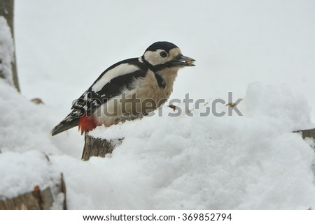 Great spotted woodpecker in a tree in winter - stock photo