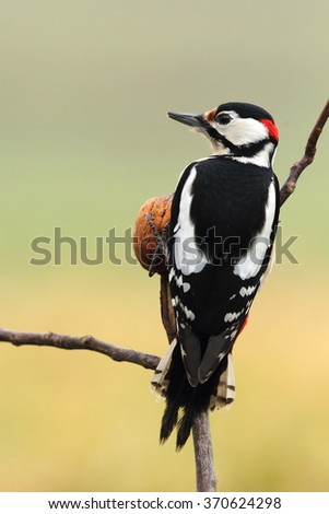 Great spotted woodpecker on a branch with nut - stock photo