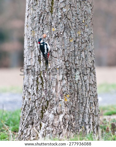 great spotted woodpecker on a tree trunk with a walnut in its beak - stock photo