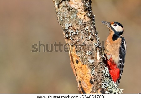 Great spotted woodpecker perched on a log in the rain