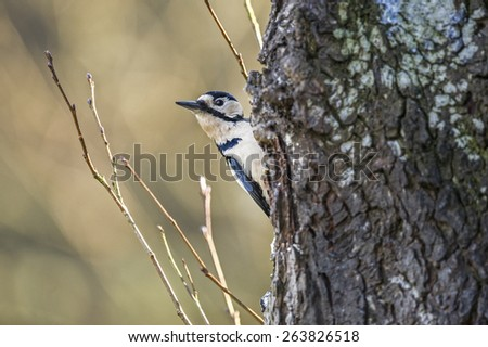 Great spotted Woodpecker perched on a tree trunk