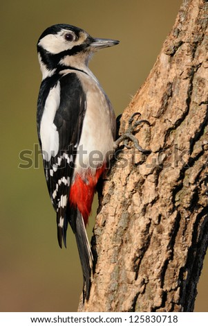 Great spotted woodpecker portrait - stock photo