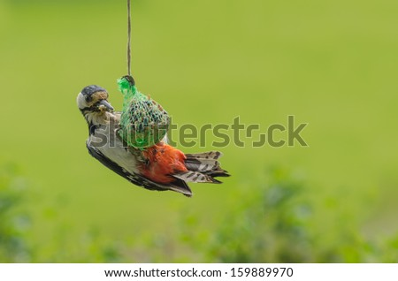 Great spotted woodpecker stealing food from the smaller birds - stock photo