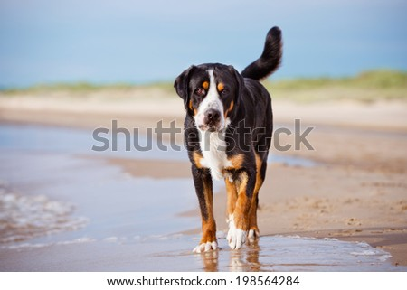 great swiss mountain dog on the beach - stock photo