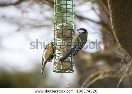 Great Tit feeding younger bird - stock photo