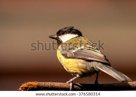 Great tit garden bird feeding in UK garden - stock photo