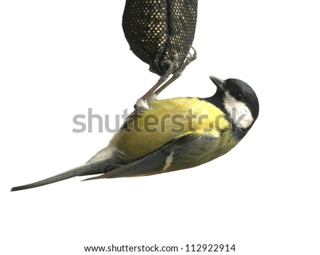 Great tit hang on rack, isolated on white - stock photo