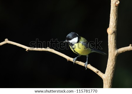 great tit in a tree, against dark background - stock photo